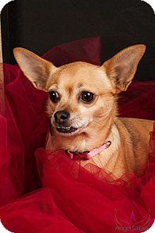 Chihuahua Dog for adoption in Aurora, Illinois - Bambi