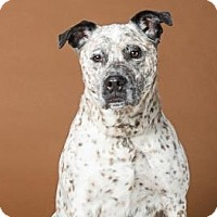 Adopt A Pet :: Sprinkles - Northbrook, IL