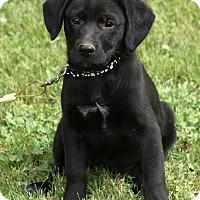 Adopt A Pet :: Izzy - Brattleboro, VT
