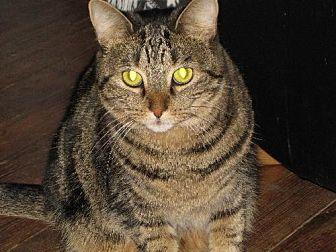 Domestic Shorthair Cat for adoption in Cincinnati, Ohio - zz 'Muchi' courtesy listing