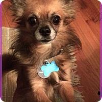 Adopt A Pet :: Diesel - Mt. Prospect, IL