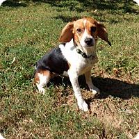 Adopt A Pet :: Hattie B - Russellville, KY