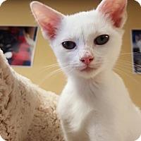 Adopt A Pet :: Snowy - Island Park, NY