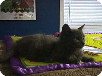 Domestic Mediumhair Kitten for adoption in Fayetteville, Georgia - Ingrid
