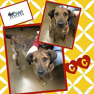 German Shorthaired Pointer/Plott Hound Mix Dog for adoption in ST LOUIS, Missouri - CC