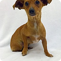 Adopt A Pet :: Pippi - Mission Viejo, CA