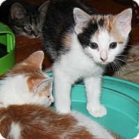 Adopt A Pet :: Annie Sue - Berkeley Hts, NJ