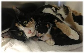 Domestic Shorthair Cat for adoption in Royal Palm Beach, Florida - Margaret
