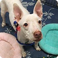 Adopt A Pet :: Bindi - Phoenix, AZ