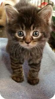 Domestic Mediumhair Kitten for adoption in Williamston, North Carolina - Bear