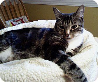 Domestic Shorthair Cat for adoption in N. Billerica, Massachusetts - Colby