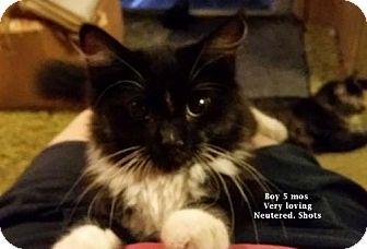Siberian Cat for adoption in Westlake, California - Seaver