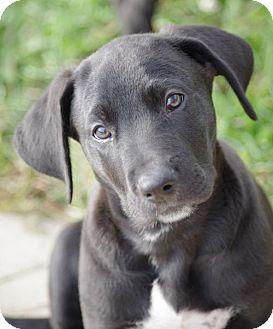 Great Dane/Collie Mix Puppy for adoption in Mechanicsburg, Pennsylvania - Titan