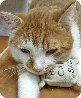 Domestic Shorthair Cat for adoption in Brooklyn, New York - Joey the Gentle Ginger
