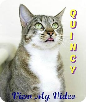 Domestic Shorthair Cat for adoption in Sarasota, Florida - Quincy