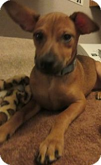 Rat Terrier/Chihuahua Mix Dog for adoption in Von Ormy, Texas - Flinky