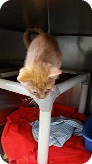 Domestic Shorthair Kitten for adoption in Chippewa Falls, Wisconsin - Ruff