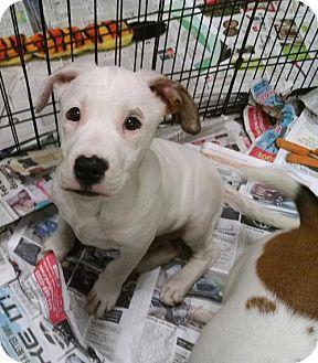 American Bulldog/Labrador Retriever Mix Puppy for adoption in Ringoes, New Jersey - Favre