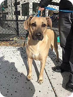 Shepherd (Unknown Type)/Labrador Retriever Mix Dog for adoption in Whitehall, Pennsylvania - Custer