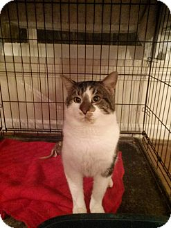 Domestic Shorthair Cat for adoption in Northfield, Ohio - Romeo