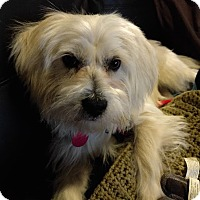 Maltese/Terrier (Unknown Type, Small) Mix Dog for adoption in North Las Vegas, Nevada - Egbert