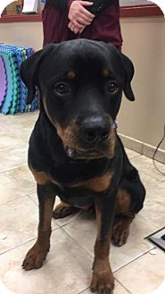 Rottweiler Dog for adoption in New York, New York - Ayre (A)