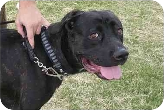 Cane Corso Dog for adoption in Las Vegas, Nevada - Deja