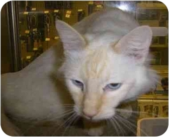 Siamese Cat for adoption in Strathmore, Alberta - Omar