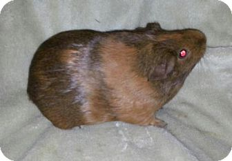 Guinea Pig for adoption in Pittsburgh, Pennsylvania - Nutella
