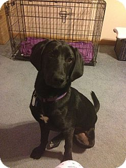 Labrador Retriever Mix Dog for adoption in North Brunswick, New Jersey - Tammy