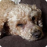 Adopt A Pet :: Milo ( my chubby teddy bear) - Hollis, ME
