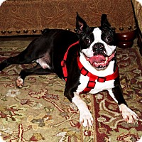 Adopt A Pet :: Beavis - Nolensville, TN