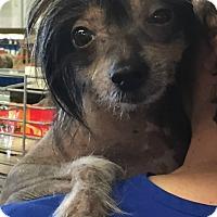 Adopt A Pet :: Eve - House Springs, MO