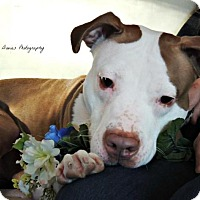 Pit Bull Terrier Mix Dog for adoption in Durham, New Hampshire - ZOEY seeks cuddles!