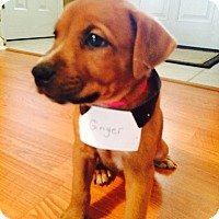 Adopt A Pet :: Ginger Snap Cookie - Huntsville, AL