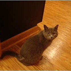 Photo 2 - Domestic Shorthair Cat for adoption in Muncie, Indiana - Nadia