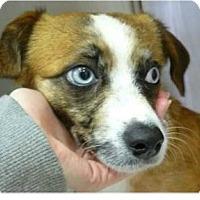 Adopt A Pet :: Liz - Springdale, AR