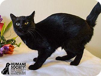 Domestic Shorthair Cat for adoption in Sandusky, Ohio - CLARICE