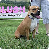 Pit Bull Terrier Mix Dog for adoption in Newport, Kentucky - Blush