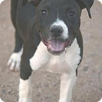 Adopt A Pet :: Tulip - tucson, AZ