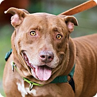 American Staffordshire Terrier/Labrador Retriever Mix Dog for adoption in Houston, Texas - Randy