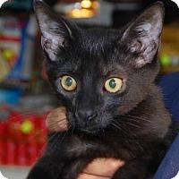 Adopt A Pet :: Batcat - Brooklyn, NY
