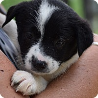 Adopt A Pet :: Rachel $250 - Seneca, SC