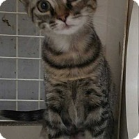 Domestic Shorthair Kitten for adoption in Dallas, Texas - Paris