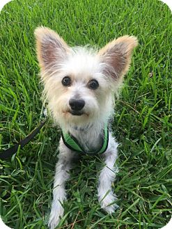 Terrier (Unknown Type, Medium)/Chinese Crested Mix Dog for adoption in Tomball, Texas - Patches