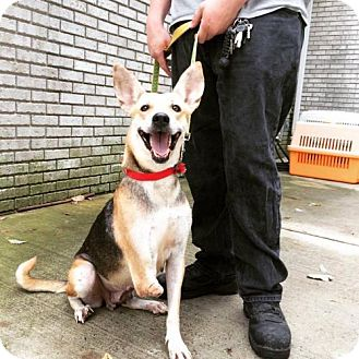 German Shepherd Dog/Pharaoh Hound Mix Dog for adoption in Pomfret, Connecticut - Lucy