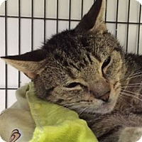 Domestic Shorthair Cat for adoption in Porter, Texas - Bobby