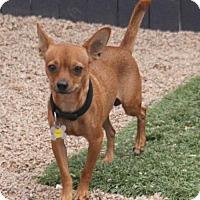 Chihuahua Mix Dog for adoption in Phoenix, Arizona - Tiberius