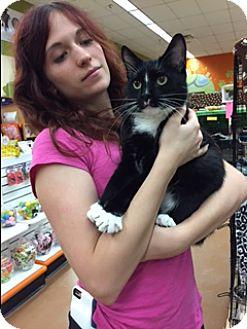 Domestic Shorthair Cat for adoption in Blasdell, New York - Chippy