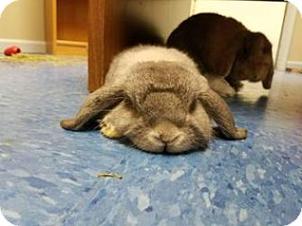 Lop, Holland for adoption in Queenstown, Maryland - Blue